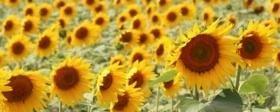Umgebung von Rieben - Sonnenblumenfeld